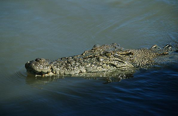 Australische krokodil