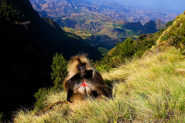 Gelada baboon in de Simien Mountains in Ethiopië