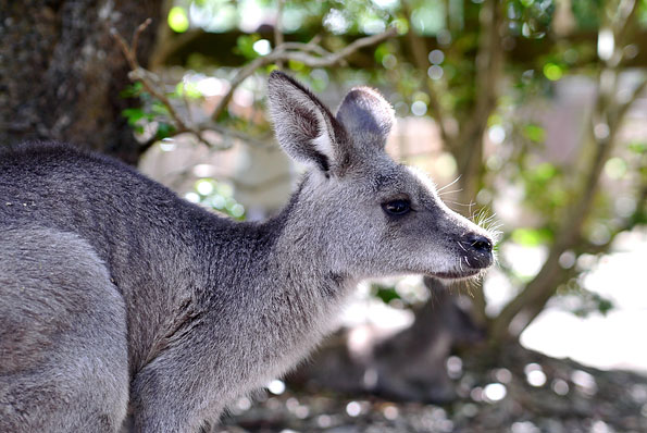 Kangoeroe in The Grampians