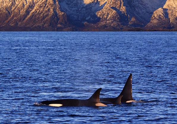 Orka voor de kust van de Lofoten