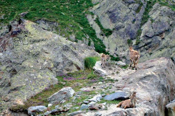 Berggeiten in het Italiaanse Valle d'Aosta