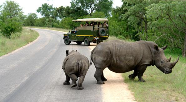 Overstekende neushoorn in Zuid-Afrika